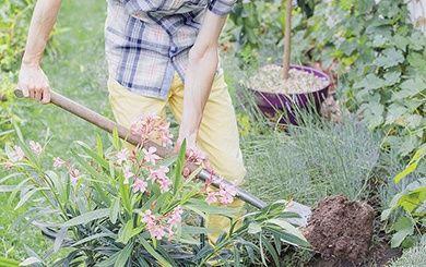 laurier rose fleurs simples roses pot de 16 litres hauteur 60 80 cm gamm vert. Black Bedroom Furniture Sets. Home Design Ideas
