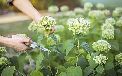 Hortensia feuilles de ch ne pot de 5 litres gamm vert - Entretien et coupe des hortensias ...
