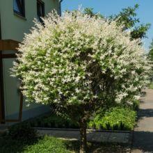 arbre tige persistant