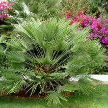 palmier nain 4 lettres