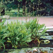 plante aquatique vivace 6 lettres