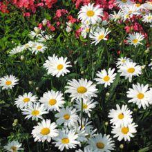 Leucanthemum maximum etoile d\u0027anvers