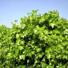 plante grimpante s'accrochant seule