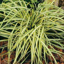 plante aquatique haute saone