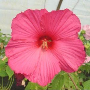 Taille des hibiscus gamm vert - Taille de l hibiscus ...