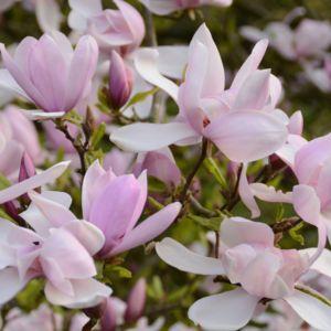 comment planter 1 magnolia