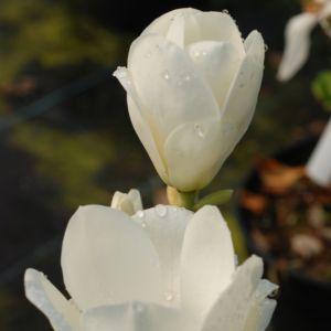 Magnolia 'Lennei Alba'