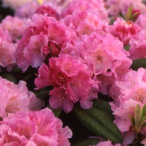 Rhododendron yak 'Doc'