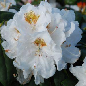 Rhododendron yak 'Porzellan'