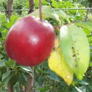 Brugnon 'Violet Cardinal' : taille en gobelet