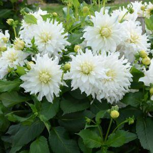 Dahlia décoratif 'Albion®'