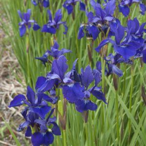 Iris sibirica ceasar's brother