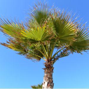 Trachycarpus - Palmier à chanvre