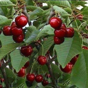 Cerisier 'Reverchon' : taille en gobelet