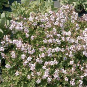 Géranium vivace macrorrhizum 'Spessart'