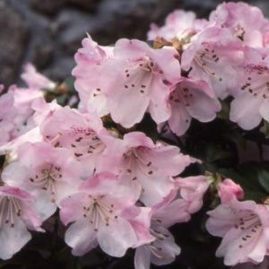 Rhododendron nain 'Cilpinense'