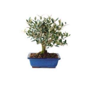 entretien et arrosage du bonsa gamm vert. Black Bedroom Furniture Sets. Home Design Ideas