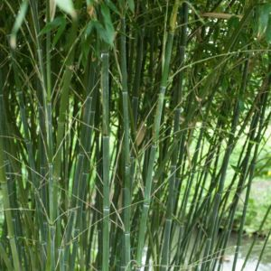 Bambou moyen : Phyllostachys bissetii