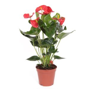 Anthurium sierra rouge
