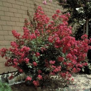 Lagerstroemia 'Red Imperator®'