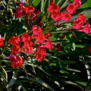 laurier rose plante d 39 ext rieur gamm vert. Black Bedroom Furniture Sets. Home Design Ideas