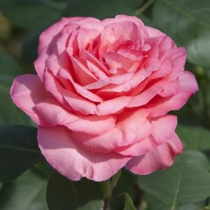 Rosier 'Panthère Rose®' Meicapinal - Rosier Meilland