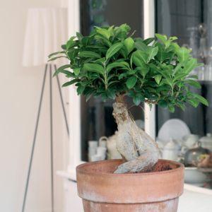 Ficus 'Ginseng'