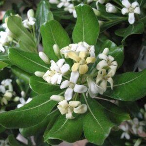 Petits Arbustes Parfumes Gamm Vert