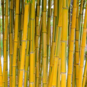 Bambou moyen : Phyllostachys aureosulcata 'Spectabilis'