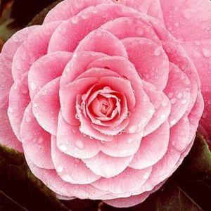 Camélia champêtre 'Fairy Blush'