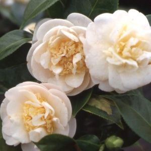 Camélia 'Botanyuki'