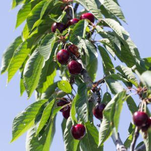 Cerisier Bigarreau 'Regina'  :  taille en gobelet