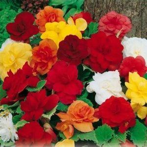 Bégonias erecta à fleurs doubles variés (lot de 4)