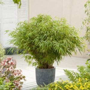 planter un bambou en pot gamm vert. Black Bedroom Furniture Sets. Home Design Ideas
