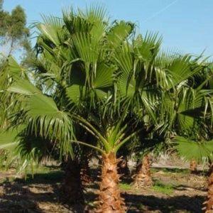 Palmier Jupon