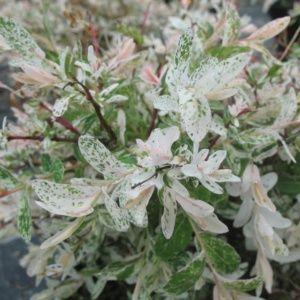 Planter un saule crevette | Gamm vert