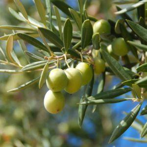 Taille de l\'olivier   Gamm vert