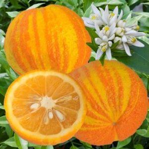 Oranger Plante D Exterieur Gamm Vert