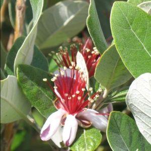Goyavier du Brésil (Feijoa)