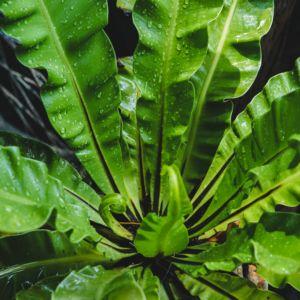 foug re plante d 39 ext rieur gamm vert. Black Bedroom Furniture Sets. Home Design Ideas