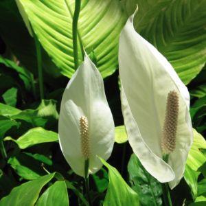 Spathiphyllum qui jaunit