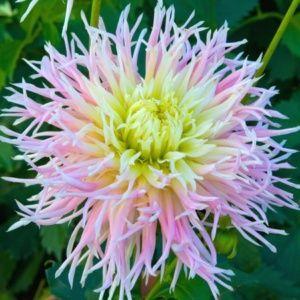 Dahlia cactus dentelle 'Marylin' - Extra