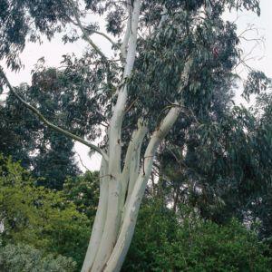 eucalyptus rengun excellent replies retweets like with eucalyptus rengun top image gommier. Black Bedroom Furniture Sets. Home Design Ideas