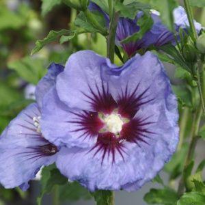 Hibiscus syriacus 'Ultramarine'