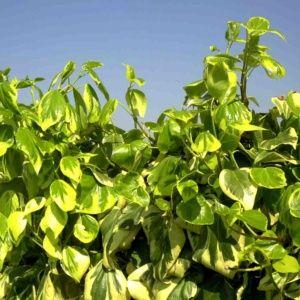 plante grimpante feuillage persistant croissance rapide