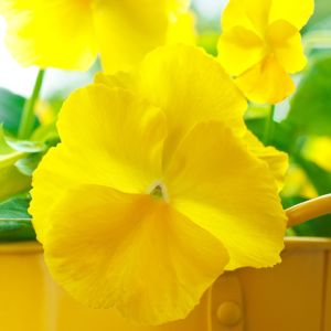 Pensée jaune