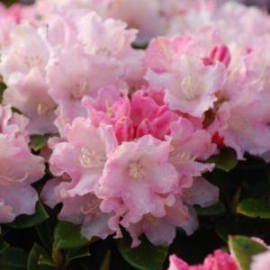 Rhododendron  yak 'Dream Land'