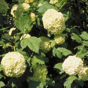 Viorne ou Viburnum Boule de neige 'Roseum' x 2