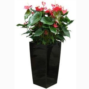 Anthurium rouge x 3 rempoté dans pot Lechuza Cubico Premium 30 noir brillant