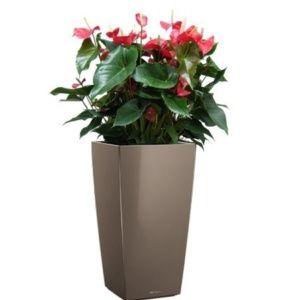 Anthurium rouge x 3 rempotés dans pot Lechuza Cubico Color 30 Muscade